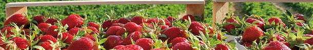 Bild Die ersten heimischen Erdbeeren werden bereits verkauft!