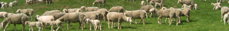Bild Versuch zur Optimierung der Lammfleischproduktion